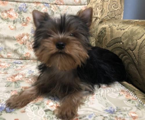 ヨークシャーテリアの子犬(ID:1236211107)の1枚目の写真/更新日:2018-06-26