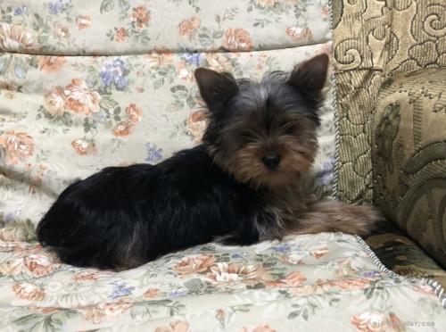 ヨークシャーテリアの子犬(ID:1236211107)の2枚目の写真/更新日:2018-06-26