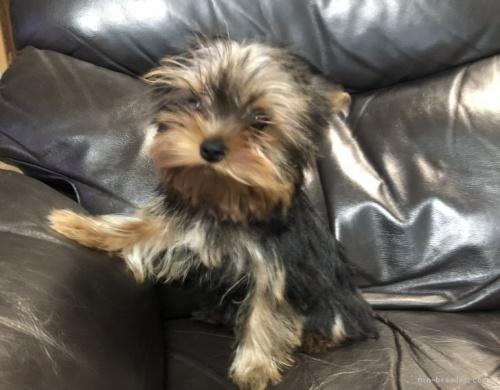 ヨークシャーテリアの子犬(ID:1236211108)の3枚目の写真/更新日:2018-06-26