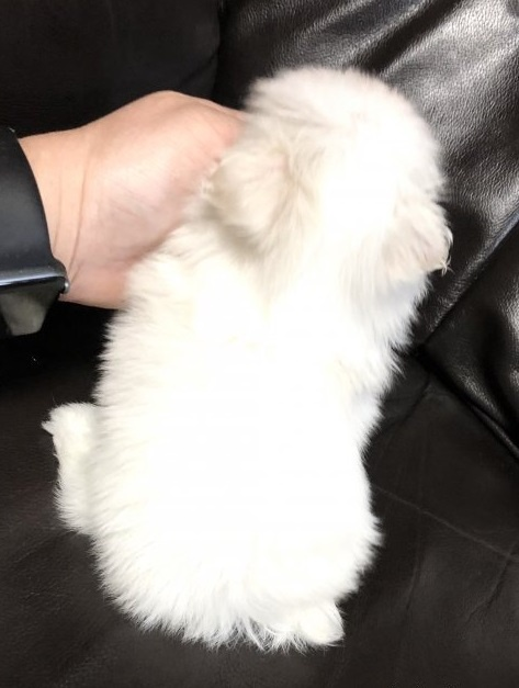 マルチーズの子犬(ID:1236211109)の3枚目の写真/更新日:2020-04-27