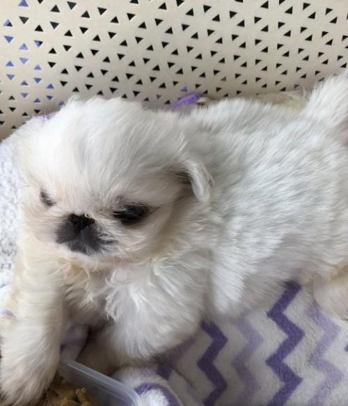 ペキニーズの子犬(ID:1236211126)の1枚目の写真/更新日:2018-08-07
