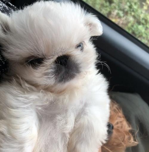 ペキニーズの子犬(ID:1236211126)の2枚目の写真/更新日:2018-08-07