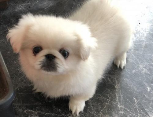 ペキニーズの子犬(ID:1236211129)の1枚目の写真/更新日:2018-09-20
