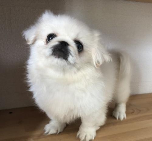 ペキニーズの子犬(ID:1236211129)の2枚目の写真/更新日:2018-09-20