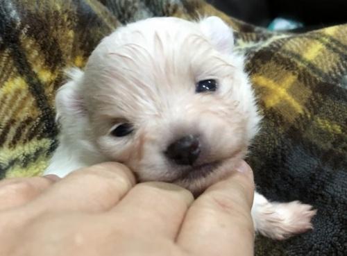 ポメラニアンの子犬(ID:1236211173)の2枚目の写真/更新日:2019-02-04
