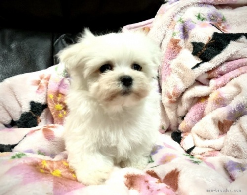 マルチーズの子犬(ID:1236211196)の1枚目の写真/更新日:2020-04-18
