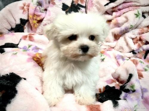 マルチーズの子犬(ID:1236211196)の2枚目の写真/更新日:2020-04-18