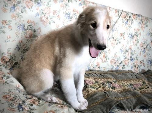 ボルゾイの子犬(ID:1236211205)の2枚目の写真/更新日:2020-04-18