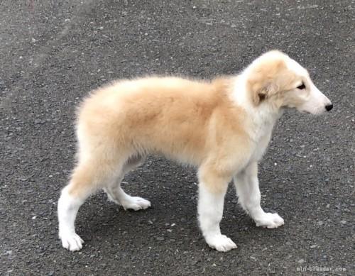 ボルゾイの子犬(ID:1236211205)の3枚目の写真/更新日:2020-04-18