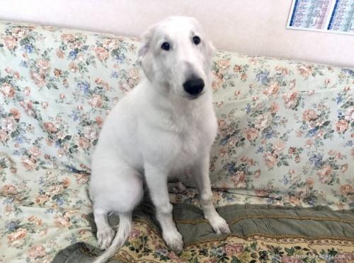 ボルゾイの子犬(ID:1236211299)の1枚目の写真/更新日:2020-04-18