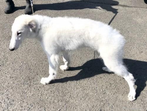 ボルゾイの子犬(ID:1236211299)の3枚目の写真/更新日:2020-04-18