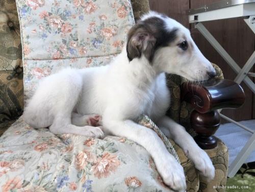 ボルゾイの子犬(ID:1236211307)の1枚目の写真/更新日:2020-04-18