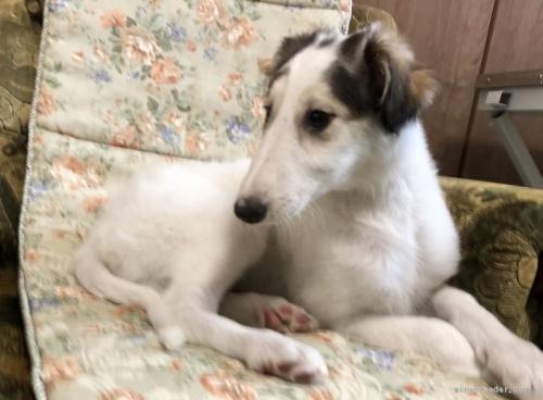 ボルゾイの子犬(ID:1236211307)の2枚目の写真/更新日:2020-04-18
