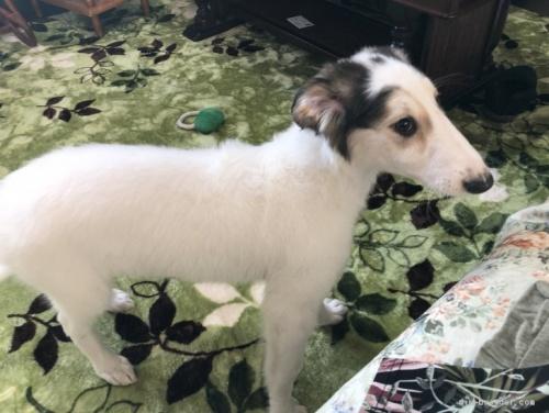 ボルゾイの子犬(ID:1236211307)の4枚目の写真/更新日:2020-04-18