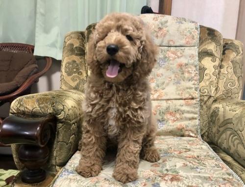ミディアムプードルの子犬(ID:1236211325)の1枚目の写真/更新日:2019-10-06