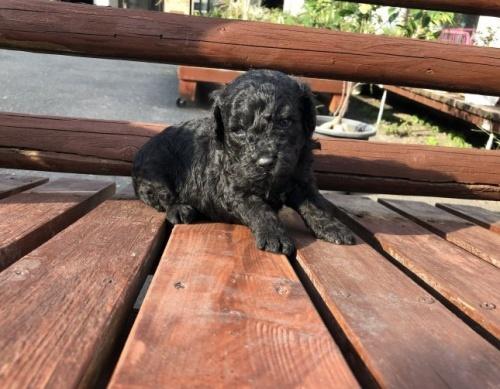 ミディアムプードルの子犬(ID:1236211326)の2枚目の写真/更新日:2019-10-06
