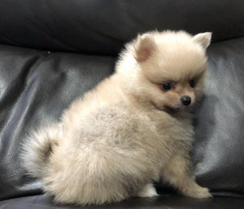 ポメラニアンの子犬(ID:1236211327)の2枚目の写真/更新日:2019-02-04