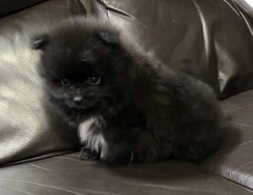 ポメラニアンの子犬(ID:1236211328)の2枚目の写真/更新日:2019-02-04