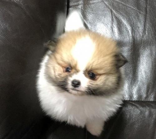 ポメラニアンの子犬(ID:1236211329)の1枚目の写真/更新日:2019-02-04