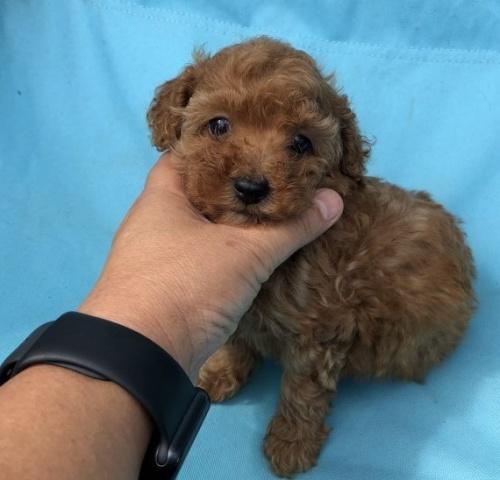 トイプードルの子犬(ID:1236211330)の2枚目の写真/更新日:2018-11-05