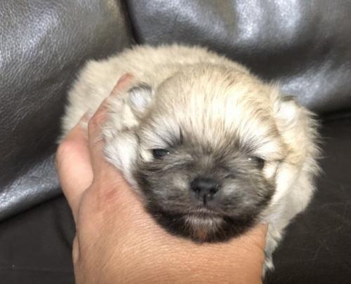 ポメラニアンの子犬(ID:1236211331)の1枚目の写真/更新日:2019-05-24