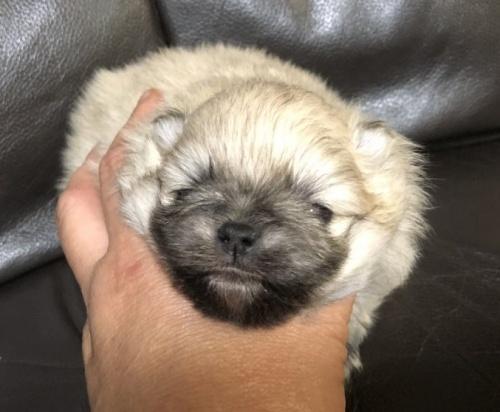 ポメラニアンの子犬(ID:1236211331)の2枚目の写真/更新日:2019-05-24