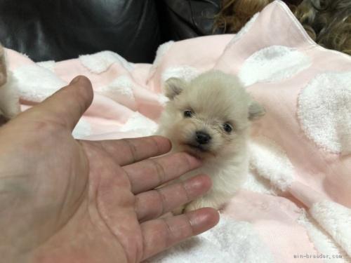 ポメラニアンの子犬(ID:1236211332)の1枚目の写真/更新日:2019-06-11