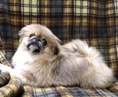 ペキニーズの子犬(ID:1236211337)の1枚目の写真/更新日:2019-04-02