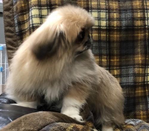 ペキニーズの子犬(ID:1236211337)の3枚目の写真/更新日:2019-04-02