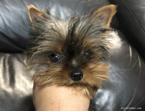 ヨークシャーテリアの子犬(ID:1236211349)の1枚目の写真/更新日:2020-04-18