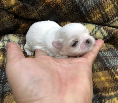 ペキニーズの子犬(ID:1236211352)の2枚目の写真/更新日:2017-01-04