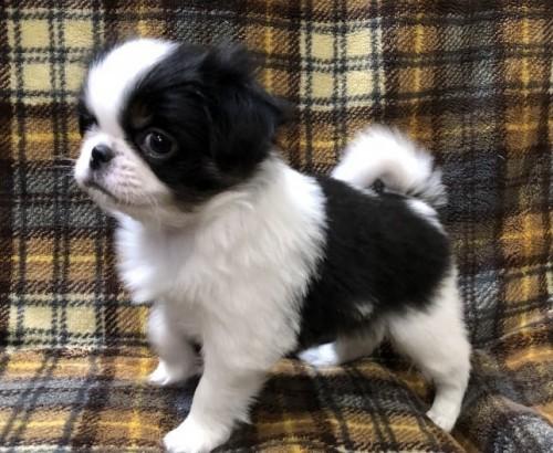 狆(チン)の子犬(ID:1236211353)の1枚目の写真/更新日:2019-03-09