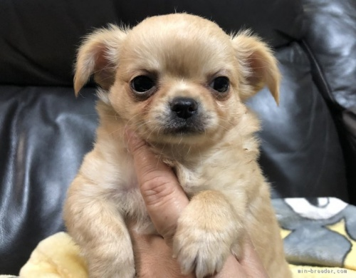 チワワ(ロング)の子犬(ID:1236211355)の1枚目の写真/更新日:2020-09-25