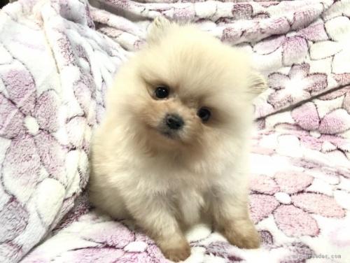 ポメラニアンの子犬(ID:1236211358)の1枚目の写真/更新日:2021-08-04