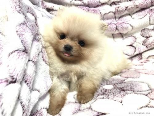 ポメラニアンの子犬(ID:1236211358)の4枚目の写真/更新日:2021-08-04