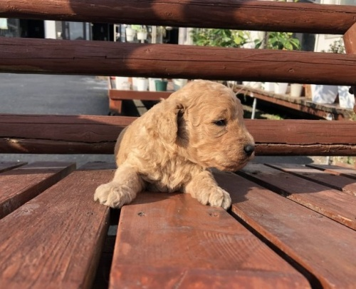 ミディアムプードルの子犬(ID:1236211359)の2枚目の写真/更新日:2019-10-06