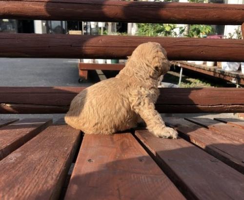 ミディアムプードルの子犬(ID:1236211359)の3枚目の写真/更新日:2019-10-06