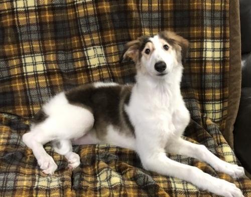 ボルゾイの子犬(ID:1236211362)の1枚目の写真/更新日:2019-03-09