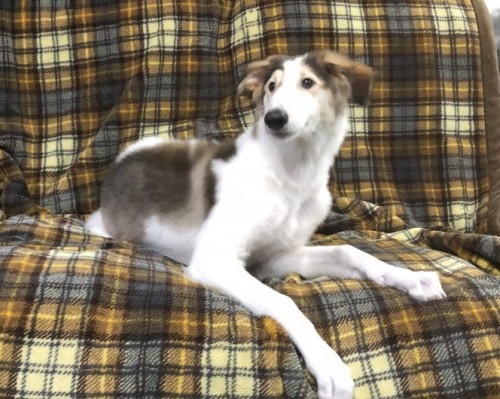 ボルゾイの子犬(ID:1236211362)の2枚目の写真/更新日:2016-12-20