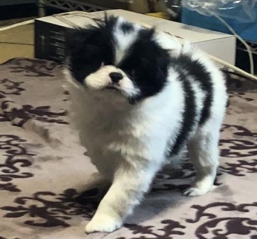 狆(チン)の子犬(ID:1236211363)の1枚目の写真/更新日:2019-10-21