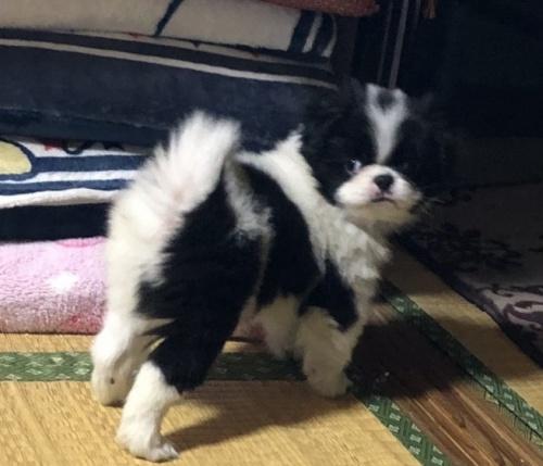 狆(チン)の子犬(ID:1236211363)の2枚目の写真/更新日:2019-10-21