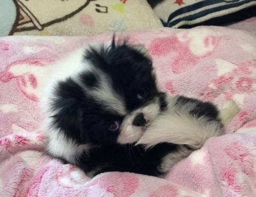 狆(チン)の子犬(ID:1236211363)の3枚目の写真/更新日:2019-10-21