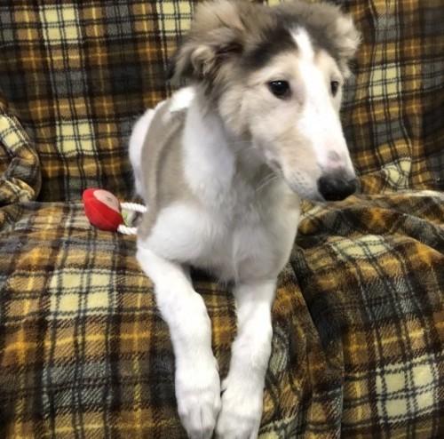 ボルゾイの子犬(ID:1236211366)の3枚目の写真/更新日:2019-03-09