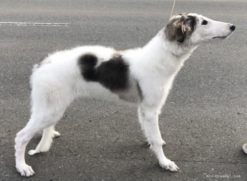 ボルゾイの子犬(ID:1236211368)の3枚目の写真/更新日:2019-03-09