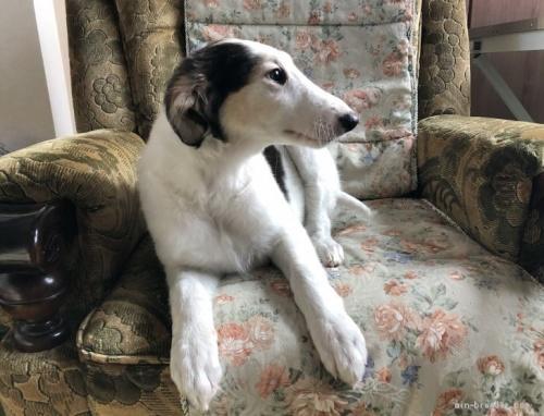 ボルゾイの子犬(ID:1236211369)の1枚目の写真/更新日:2016-12-20
