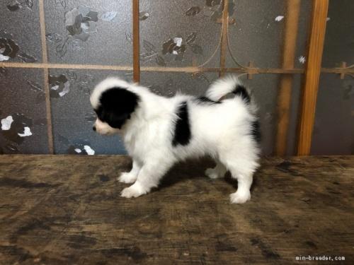 パピヨンの子犬(ID:1236211371)の3枚目の写真/更新日:2019-02-24