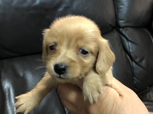 カニンヘンダックスフンド(ロング)の子犬(ID:1236211375)の3枚目の写真/更新日:2018-06-26