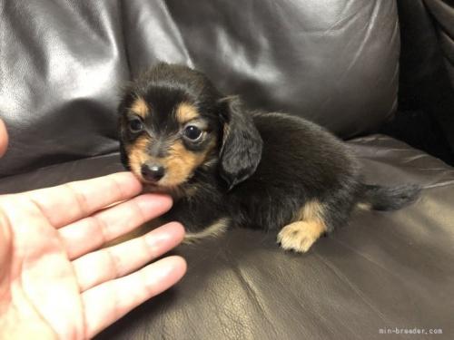 カニンヘンダックスフンド(ロング)の子犬(ID:1236211377)の1枚目の写真/更新日:2020-04-18