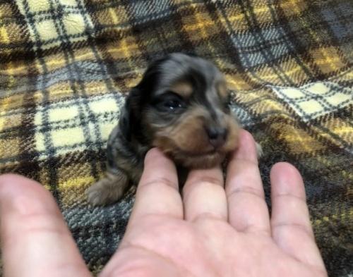 カニンヘンダックスフンド(ロング)の子犬(ID:1236211379)の1枚目の写真/更新日:2018-11-20