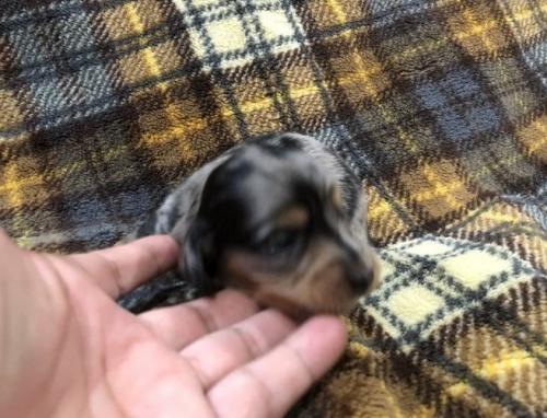カニンヘンダックスフンド(ロング)の子犬(ID:1236211379)の2枚目の写真/更新日:2018-11-20